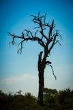 Stara drzewna sylwetka przy zmierzchem Obrazy Royalty Free
