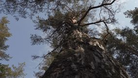 Stara duża sosna w lesie zbiory wideo