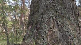 Stara duża sosna w lesie zbiory