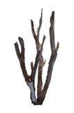 Stara gałąź nieżywy drzewo Obraz Stock