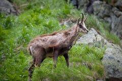 Stara giemza - Rupicapra rupicapra w trawie wysokie tatras obrazy royalty free