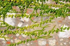 Stara gipsująca kamienna ściana r z zielonym bluszczem Zdjęcie Royalty Free