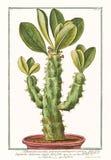 Stara ilustracja Tithymalus euphorbium arborescens angulari roślina Zdjęcia Stock