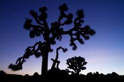 Stara Joshua Drzewa Sylwetka zdjęcie royalty free