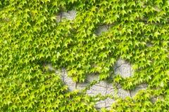 Stara kamienna ściana zakrywająca Pospolitym lub Europejskim bluszcza Hedera helix tła tekstury zakończeniem, selekcyjna ostrość, Obraz Royalty Free
