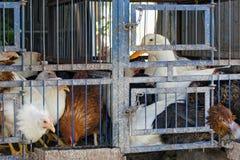 Stara klatka z dojrzałymi ptakami - kurczaki i kaczka Transport lub utrzymanie rolny drób obrazy stock