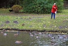 Stara kobieta karmi kaczki przy jeziorem Obrazy Stock