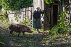 Stara kobieta pozwala iść swój świnia iść do domu Zdjęcia Royalty Free