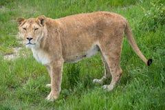 Stara lwica w safari parku obraz stock