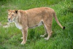 Stara lwica w safari parku obraz royalty free