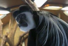 stara małpa Zdjęcie Stock
