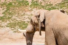 Stara marszcząca sucha słoń skóra, zbliżenie tekstura, zagrożoni gatunki, starzeje się twardą kryjówkę obraz royalty free