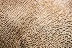 Stara marszcząca sucha słoń skóra, zbliżenie tekstura, zagrożoni gatunki, starzeje się twardą kryjówkę obrazy stock