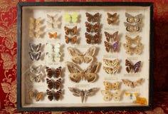Stara motylia kolekcja Zdjęcie Stock