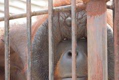 Stara orangutan małpa w klatce Obrazy Stock