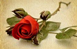 stara papierowa czerwieni róży tekstura Zdjęcie Stock