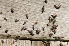 Stara pluskwa, insekt pluskwy fotografia stock
