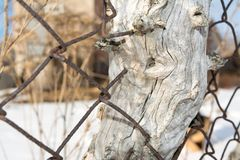 Stara Rabitz sieć rósł w drzewo obraz stock