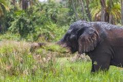 Stara słonia byka chrupania linii brzegowej trawa Obraz Stock