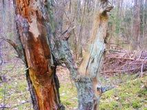 Stara sosna w lesie z kolorową harmonią, textural ulga o Obraz Stock