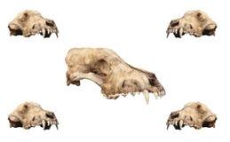 stara ustalona czaszka Fotografia Stock