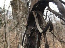 Stara uszkadzająca czarna drzewna barkentyna, zakończenie las jesieni Fotografia Royalty Free