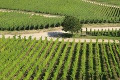 Staranni rzędy Gronowi winogrady Fotografia Royalty Free