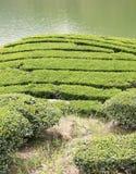 Staranny i piękny herbaty pole, adobe rgb obraz stock