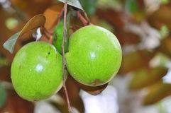 Starapple fruit in the tree. In the garden in asia Royalty Free Stock Photography