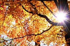 Starburst através dos membros de uma árvore no outono Fotos de Stock Royalty Free