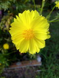 Starburst blomma Royaltyfria Foton