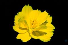 Starburst blomma Royaltyfri Fotografi
