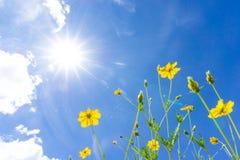 Starburst blommor lågt perspektiv Det finns gudar och blå himmel, Royaltyfria Foton