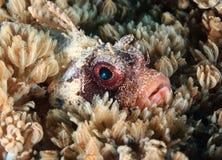 Starburst fora do olho de um lionfish do anão escondido entre o co macio Fotografia de Stock Royalty Free