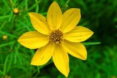 Starburst jaune Images libres de droits