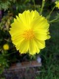 Starburst kwiat Zdjęcia Royalty Free