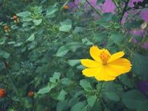 Starburst kwiat Zdjęcie Royalty Free