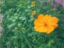 Starburst kwiat Obrazy Royalty Free