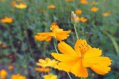 Starburst kwiaty Zdjęcia Stock