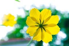 Starburst kwiaty, tylni widok Obrazy Royalty Free