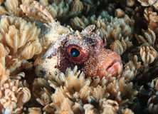 Starburst off the eye of a dwarf lionfish hidden amongst soft co. Light reflecting off the eye of a Dwarf Lionfish well hidden amongst soft corals royalty free stock photography