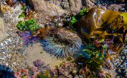 Starburst Sea Anemone Tide Pool. A Starburst Anemone, Anthopleura sola, shimmers in a tide pool along the Humboldt County coast of California royalty free stock photography