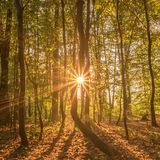 Starburst sun light in a beech forest stock photography