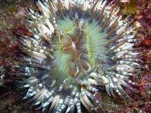 Starburst (Sunburst) anemon med Vit-prickiga tentakel Royaltyfri Bild