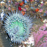 Starburst (Sunburst) Anemone. Found off of central California's Channel Islands Stock Photos