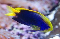 Starck's Demoiselle Fish. A Starck's Demoiselle Fish on coral background Stock Photos