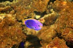 Starcki Damsel. (Chrysiptera starcki) in Japan Royalty Free Stock Images