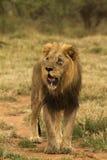 stare льва Стоковые Фотографии RF