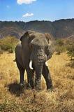 stare слона Стоковое Фото