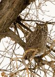 The stare. A great horned owl perched on a tree staring at me Stock Photography